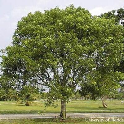 Caribbean Mahogany Tree
