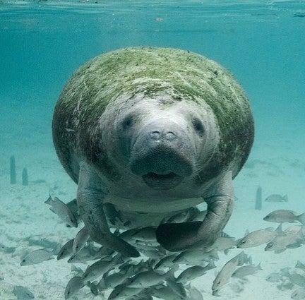 Manatees are no longer endangered