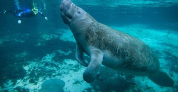 Manatees are no longer endangered