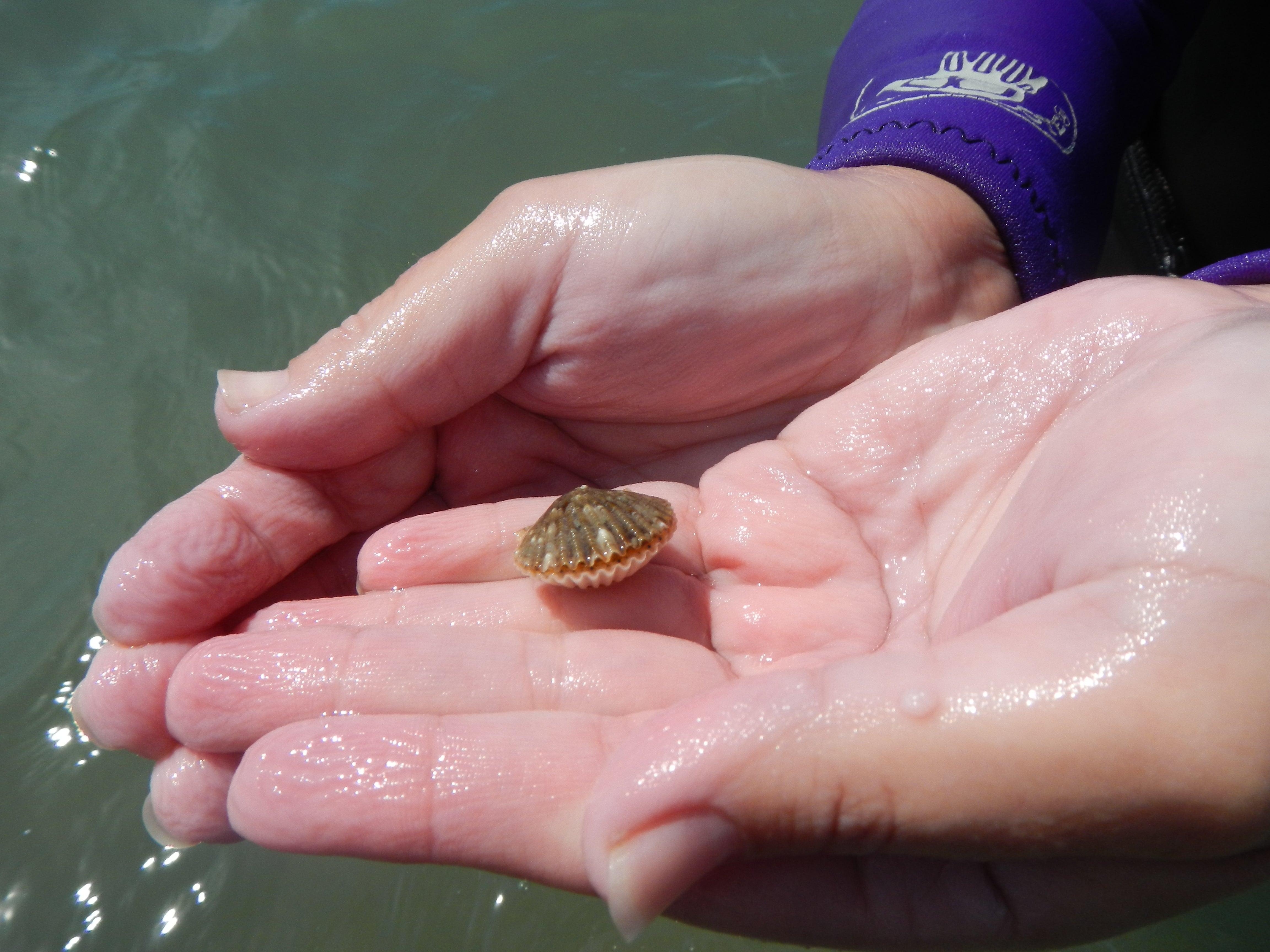 This bay scallop was found in Estero Bay Aquatic Preserve in 2016.