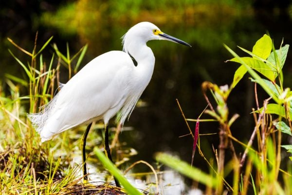 A snowy egret looks for a bite to eat in Everglades National Park.