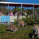 Take the Primate Expedition Cruise at Naples Zoo.