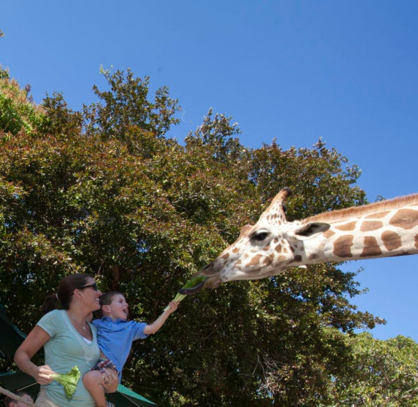 You can feed giraffes at Naples Zoo.