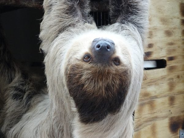 Susie the sloth is just hanging out at Naples Zoo.
